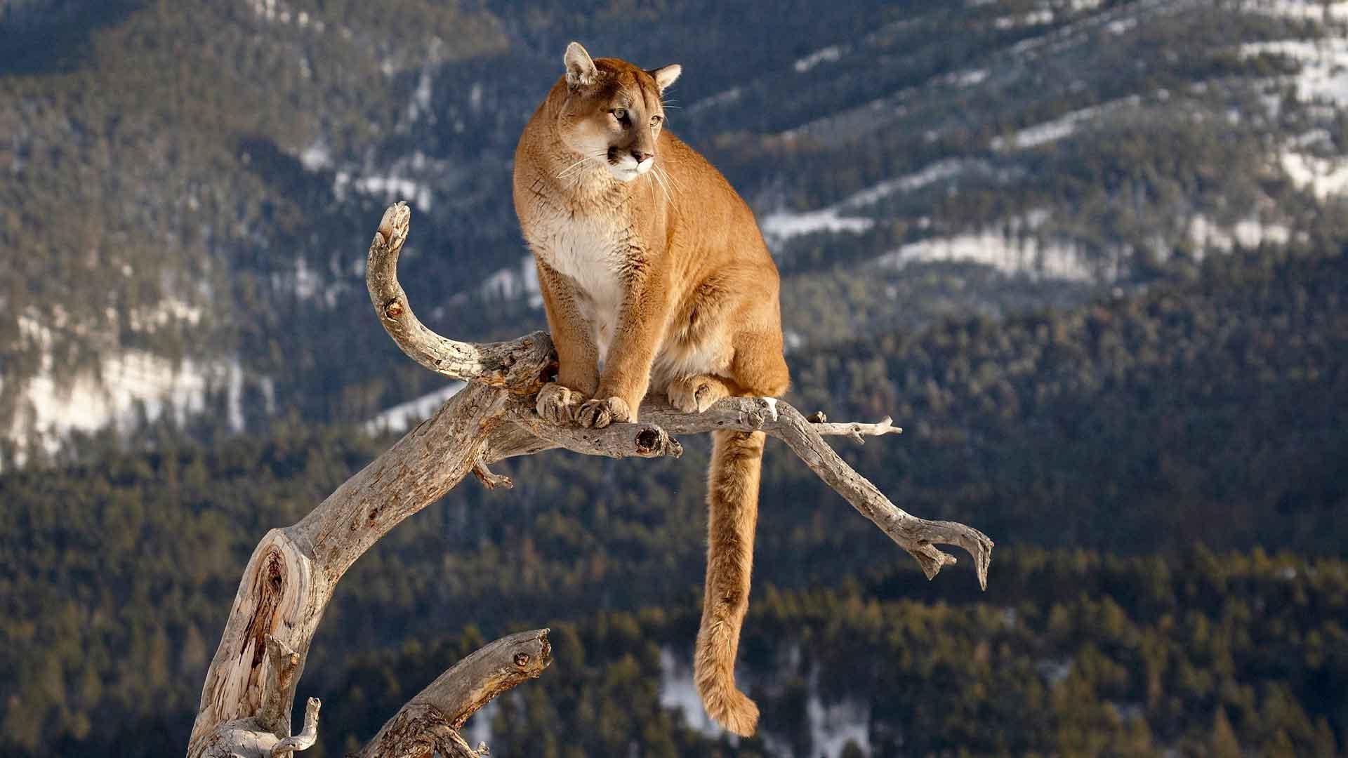 mačička dospievajúci indický