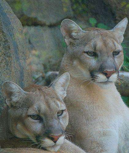 dospievajúci mačička a korisť